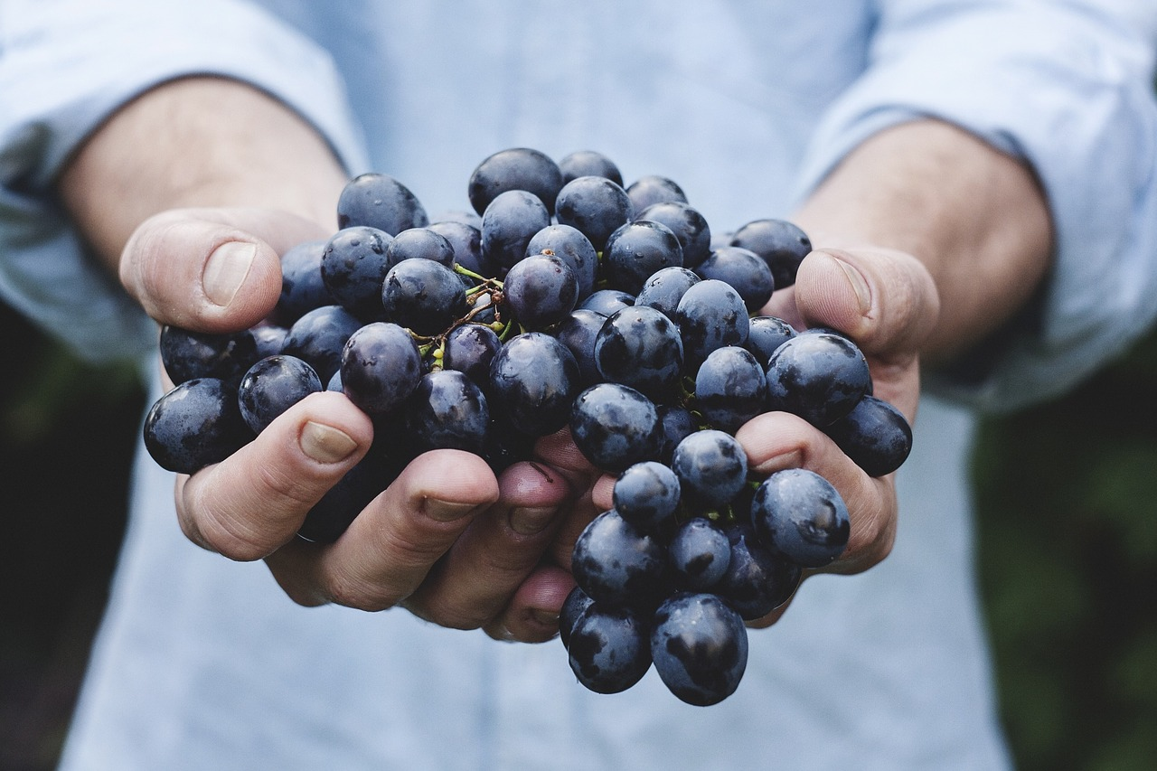 Someone holding black grapes in hands