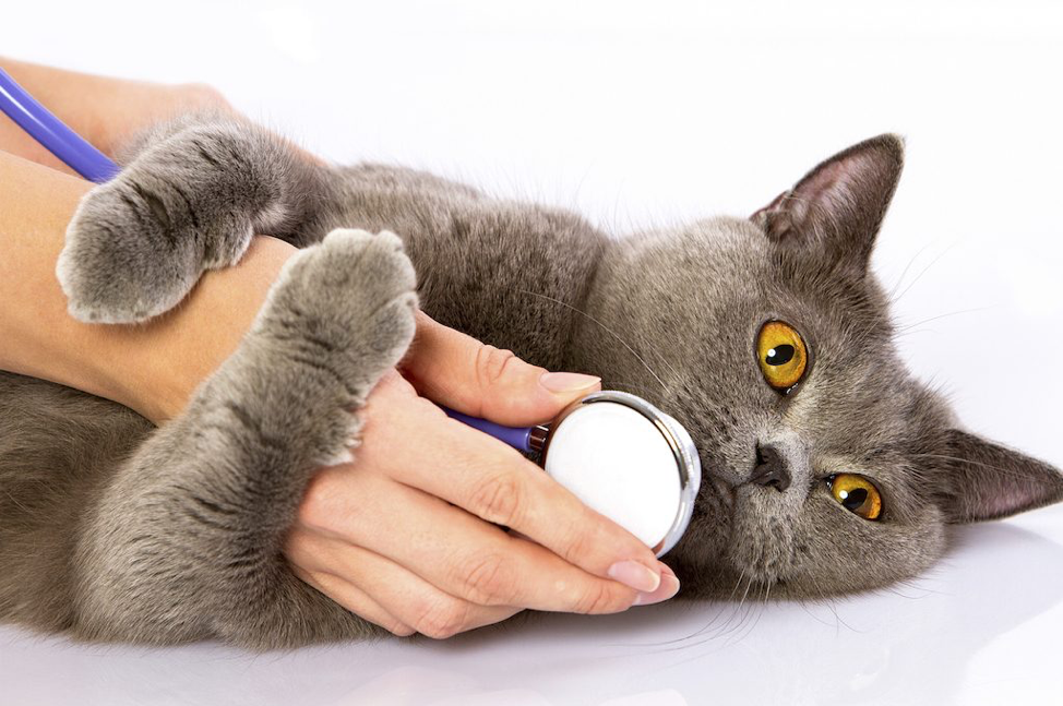 Pet chartreux cat with stethoscope
